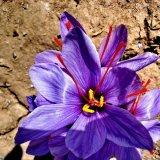Concern Over Fake Afghan Saffron