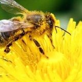 Bee Population Decline Linked to Aluminum Exposure