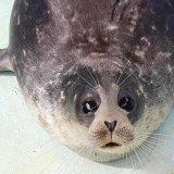 Saving the Caspian Seal