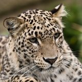 Renewed Effort to Protect the Persian Leopard