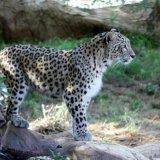 Persian Leopard Death Toll Hits 12