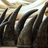 S. Africa Lifts Ban on Rhino Horn Trade