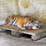 Quarantined Amur Tiger to Be Homed in Qazvin