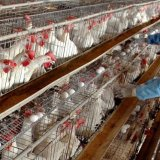 New Strain of Avian Flu Spreading