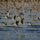 Bird Flu Afflicts Wild Ducks  in North