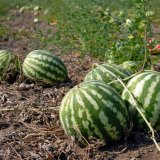 Less Water Used for Watermelon Production
