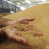 TCCIM Member Demands Solution for Surplus Wheat