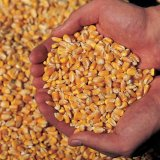 One-Month Field Corn Imports Top $100m