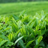 Iranian tea is 100% natural and pesticide-free.