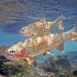Trout Exports Expected to Reach 30K Tons