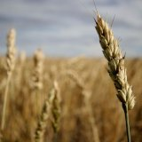 Next Year's Wheat Production Target: 12.6m Tons
