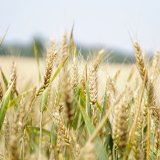 A record high of 14 million tons of wheat were produced last year, which helped Iran achieve wheat self-sufficiency for the first time in about a decade.