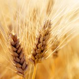 Wheat Imports Continue Based on Pre-Ban Orders