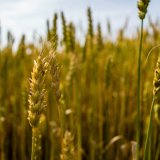 Gov't Wheat Purchases Reach  8.8m Tons