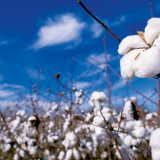 Iran needs to import at least 50,000 tons of cotton annually to meet the needs of its textile industry.