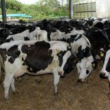 IME Debuts Cattle Trading for Export