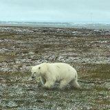 Misplaced Polar Bears Draw Tourists to Alaska Island