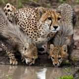 Semi-Captive Breeding for Asiatic Cheetahs