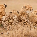 New Asiatic Cheetahs Spotted