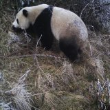 Wild Panda Cubs Sighted in China Quake Site