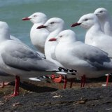 Tasmanian Seabird Numbers Break Record