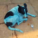 Stray Dogs Turning Blue in India
