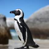 S. African Penguins on the Brink
