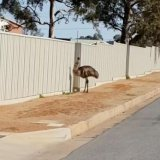 The drought is driving flocks of emus into an outback mining town.