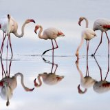 More than 6,000 adult flamingoes are spending the summer at Shadegan Wetland.