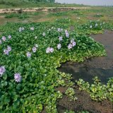 Water hyacinth has besieged the southernmost part of Anzali Wetland.