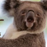 Australia Unveils $34m Plan to Save Koala