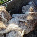 Koalas Starve as Habitat Comes Under Pressure