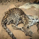 Persian Leopard Found Dead
