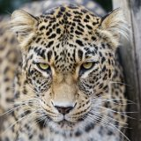 10 Persian Leopards Spotted in Fars Nat'l Park