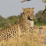 "Leopards were classified last year as ""vulnerable"" to extinction on the IUCN Red List of endangered species."