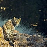 Mazandaran is one of the main habitats of the Persian leopard in Iran.
