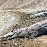 Muggers are among the largest crocodile species in terms of size.
