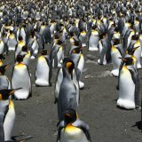 World's Biggest King Penguin Colony Shrinks 90%
