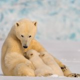 Compared to other arctic animals, polar bears are at a particularly high risk.