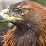 52% of World's Birds of Prey Populations in Decline