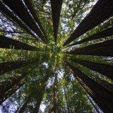 Landmark Deal to Preserve Precious Sequoia Grove