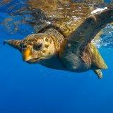 Iranian Turtles Vulnerable