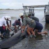 Kiwis Struggle to Save Whales