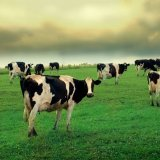 Dairy Cattle Exports to 4 Countries