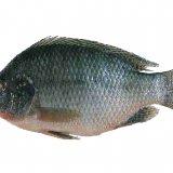 Tilapia Fish Endangers  Other Species