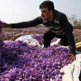World's Top Saffron Producer