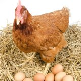 Chicken, Egg Exports