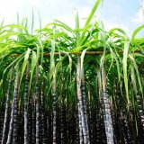 Scientists Create Eco-friendly Jet Fuel from Sugarcane