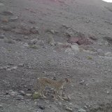 Sighted Cheetah in Central Iran Hoped to Be a Fourth and Female