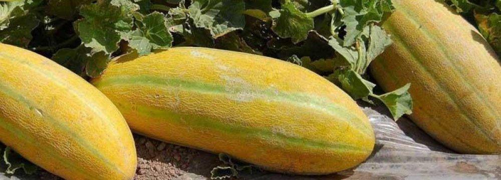 Persian Melon Exports Earn $34 Million